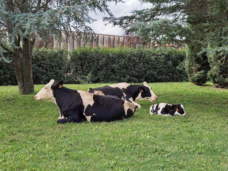 mucca Frisona